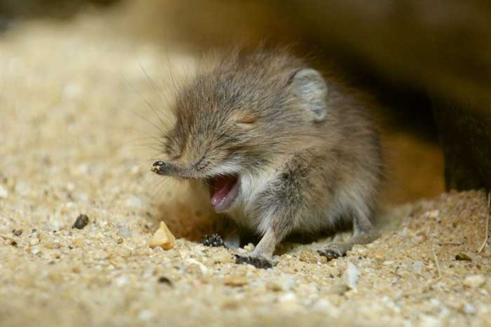 elephant shrews have been rediscovered