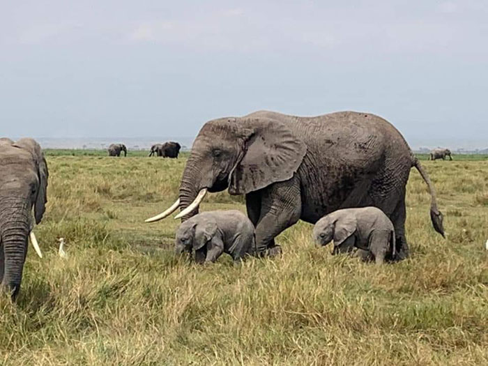 elephants stroll freely at amboseli national park