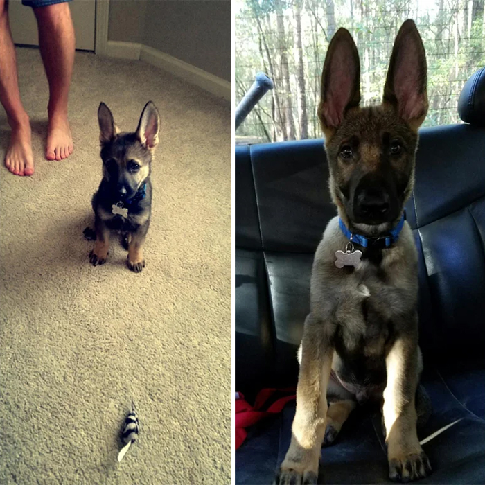 german shepherd puppies long ears