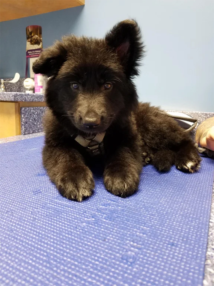 german shepherd puppies look like baby bear