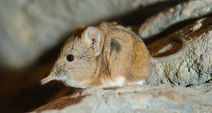 global wildlife conservation has rediscovered elephant shrews in djibouti