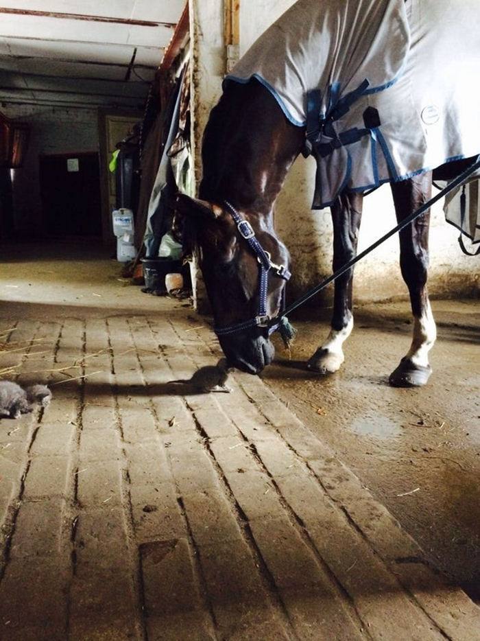 horse smelling a kitten
