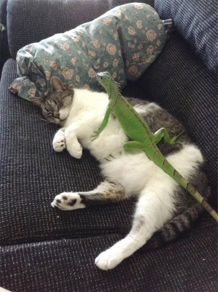 iguana lying on a sleeping cat