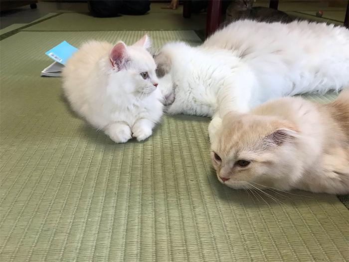 inn resident cats on tatami-matted room