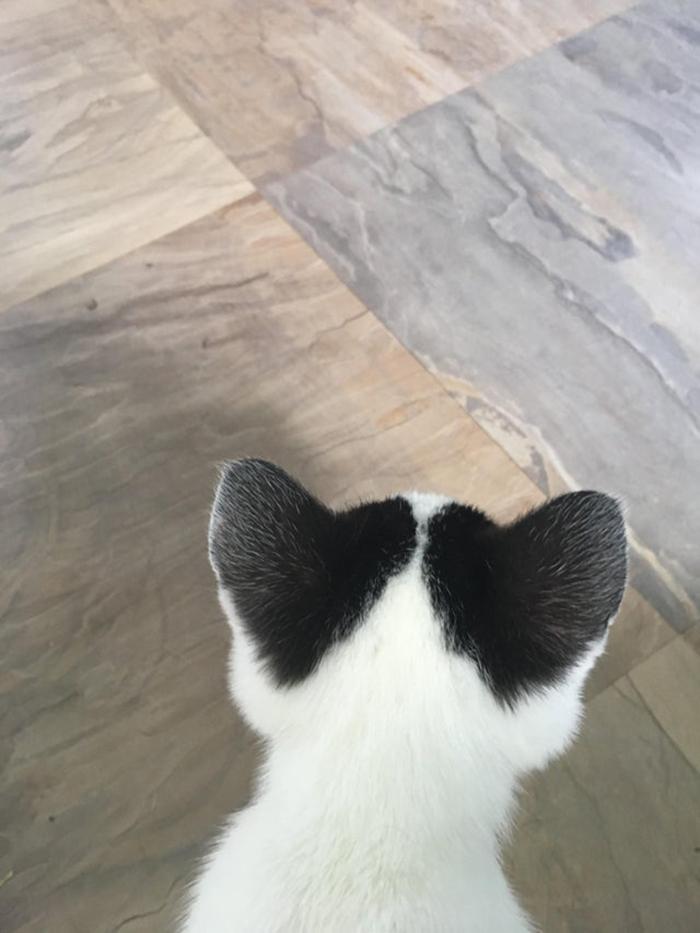 kitten with heart patterns on ears