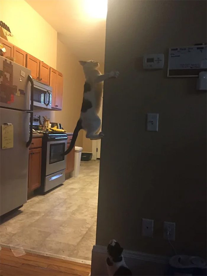 kitty climbing on vertical wall