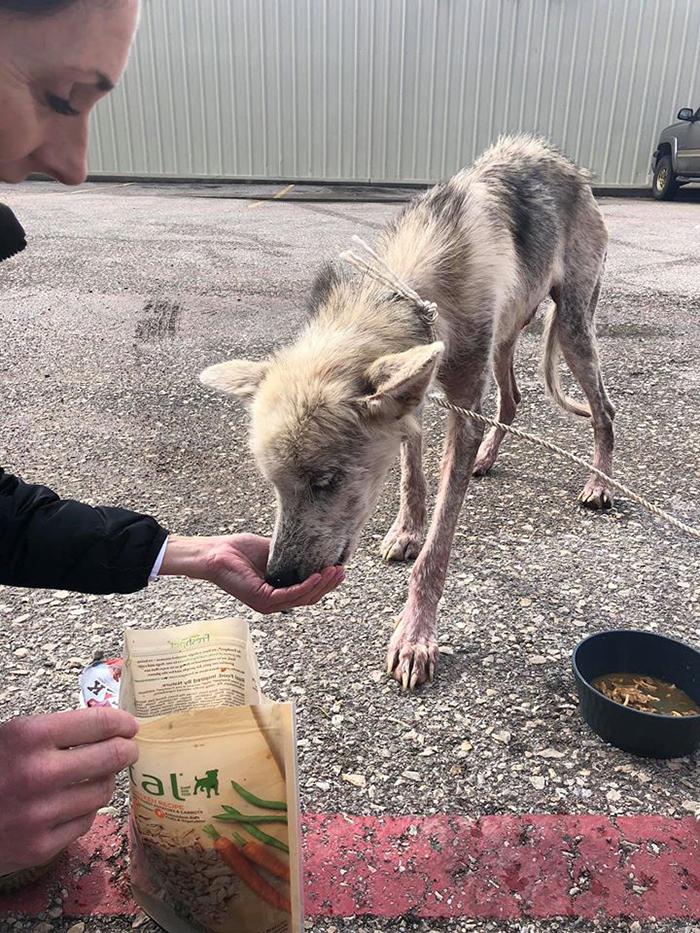 lady feeding a thin husky