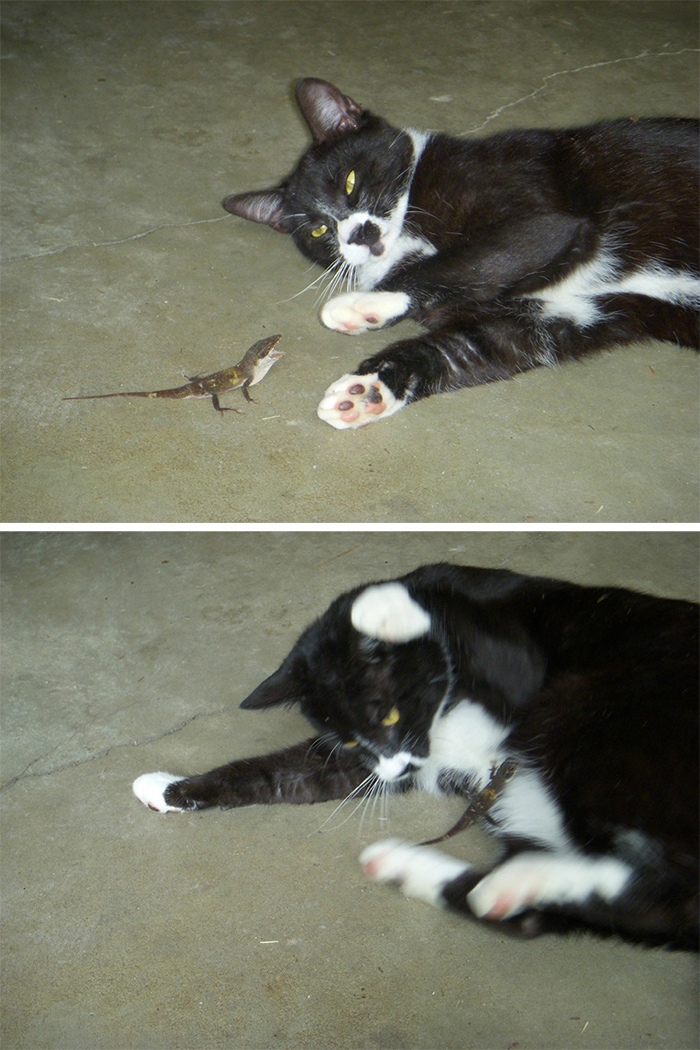 lizards attacking cats