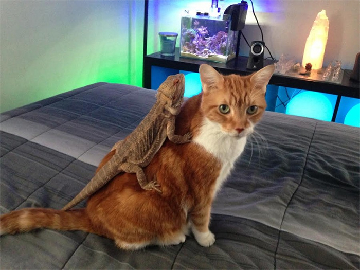 lizards on cats