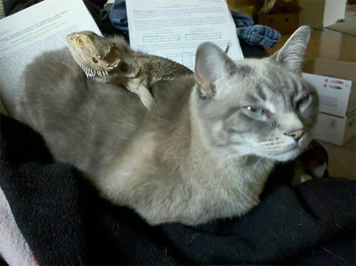 lizards riding on cat back