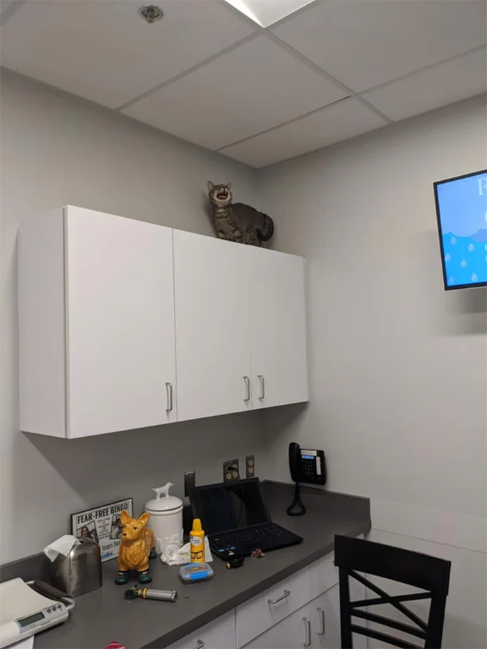 overdramatic cats going to the vet reaction