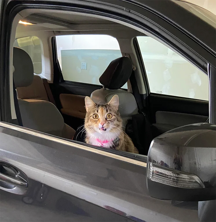 overdramatic cats shocked inside the car