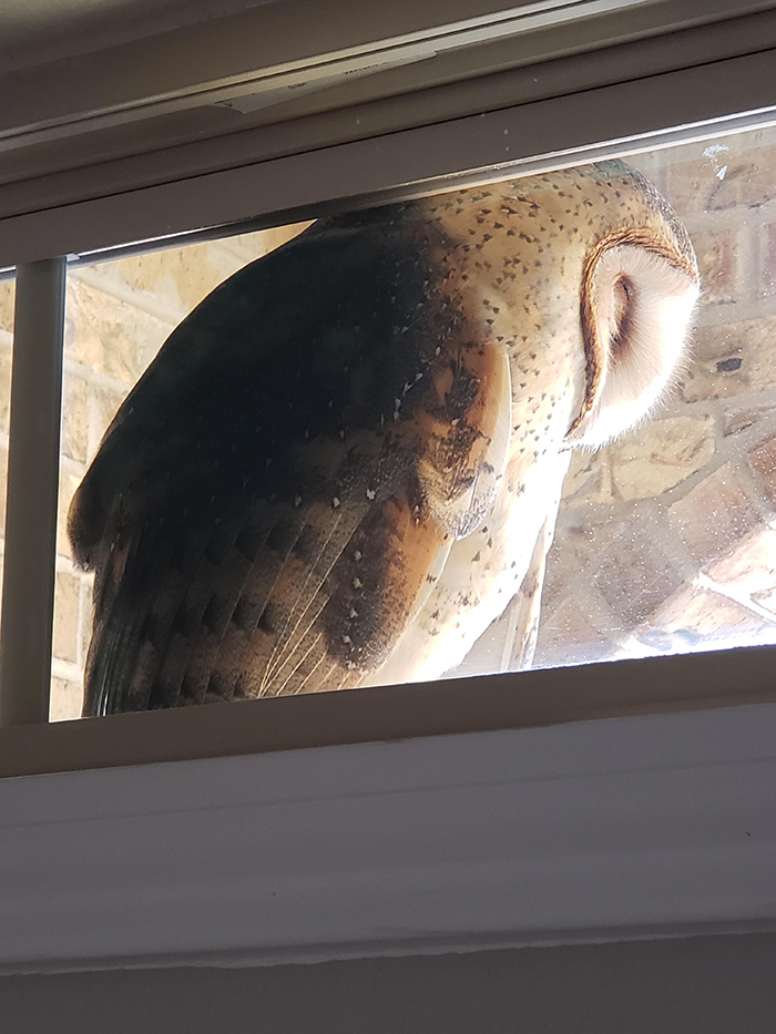 owl sleeping by the window
