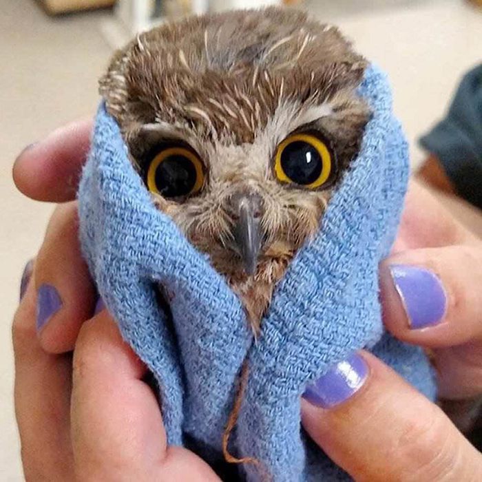 owlet wrapped around a blue towel