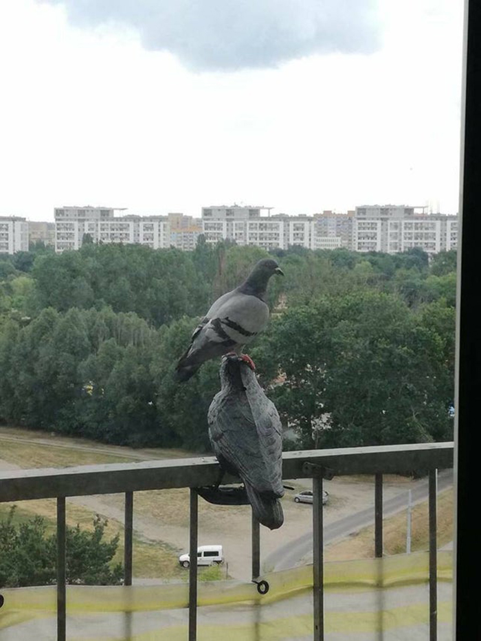 pigeon standing on the head of a fake pigeon