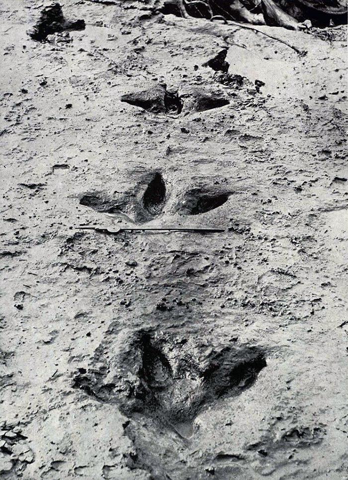 preserved bird claw prints found in 1911