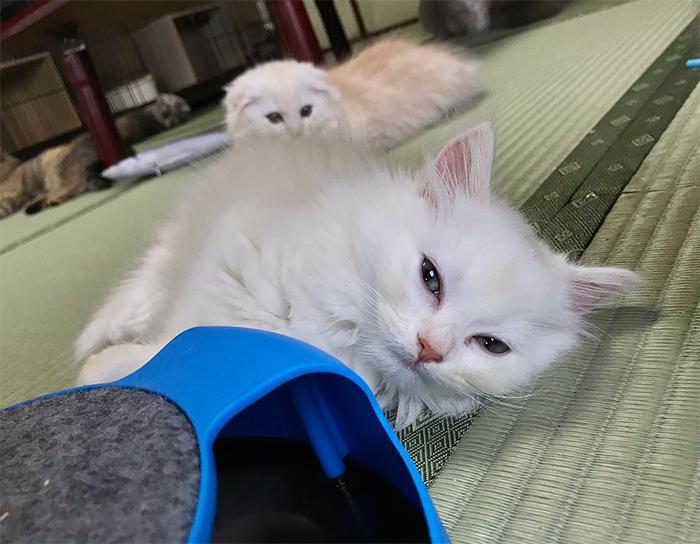 resident cats at japanese inn