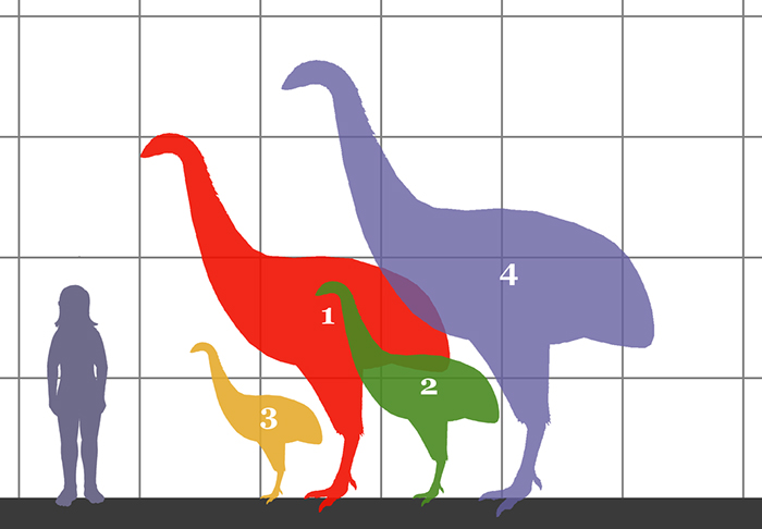 size comparison between a human and four moa species