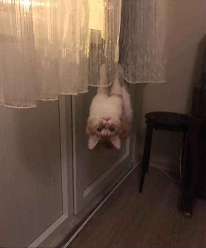 spidercat hanging upside down curtain