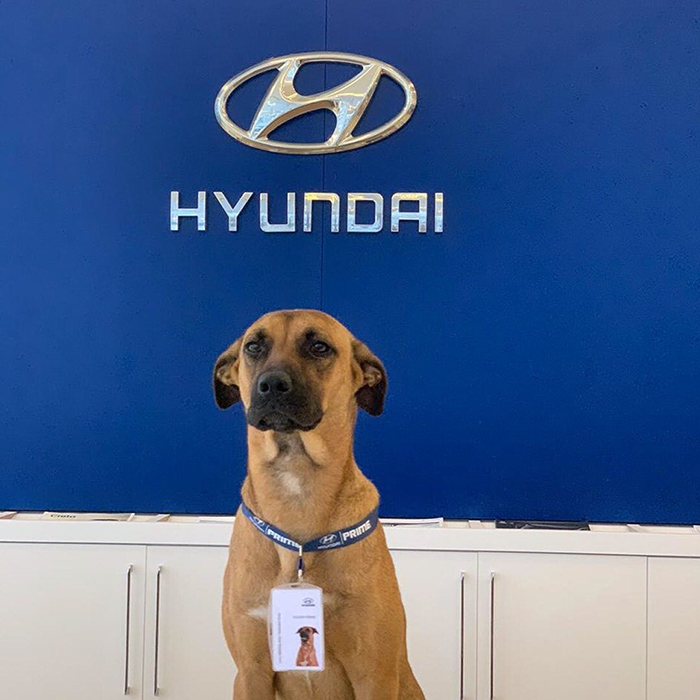 stray dog employed by hyundai dealership in brazil