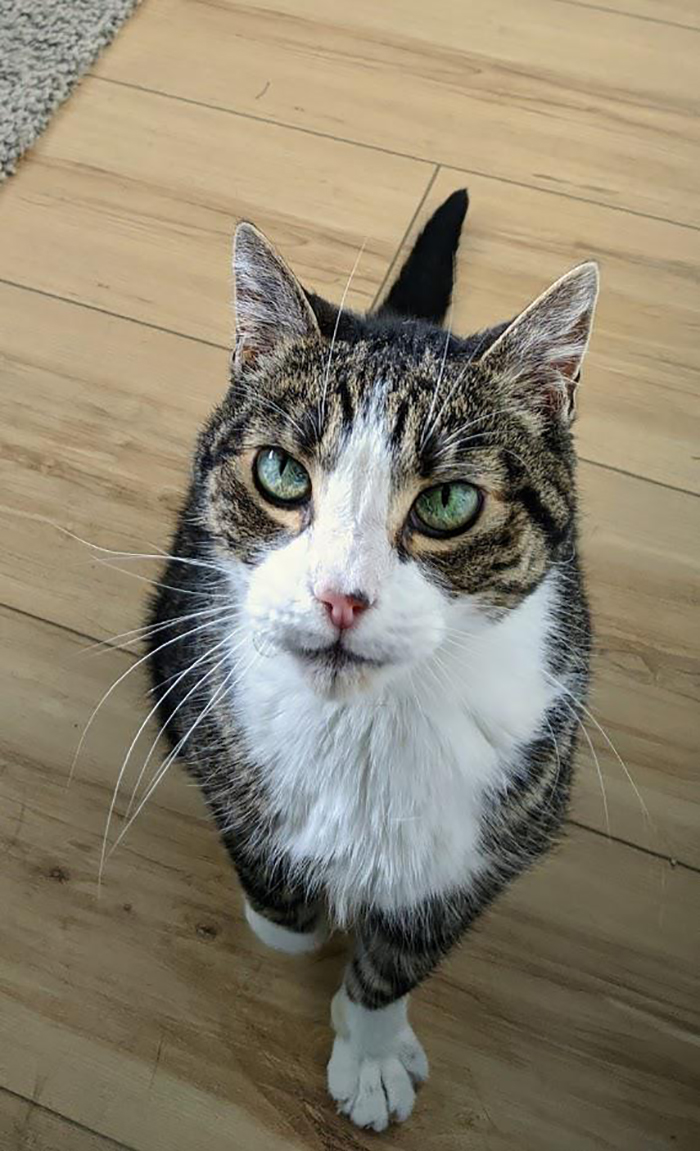 tabby cat with green eyes