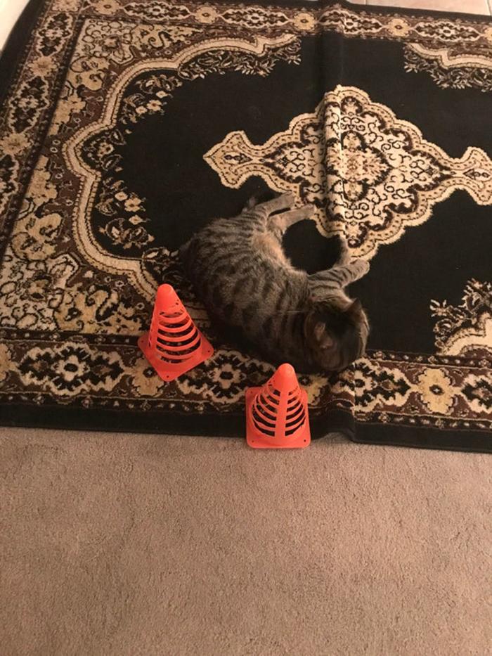 two orange cones surrounding a gray kitten sleeping on black carpet