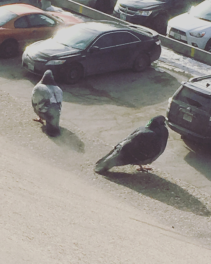 two pigeons looking over cars