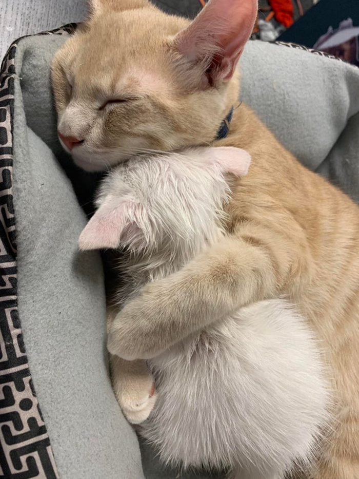 wholesome cat posts cat cuddling a kitten while sleeping