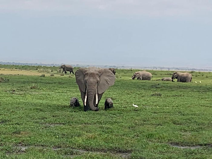 with the birth of calves the elephant population has increased in kenya