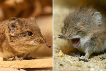 Elephant shrews