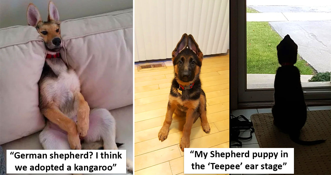 People Have Been Sharing Adorable Photos Of Their German Shepherd Puppies And They Don T Disappoint