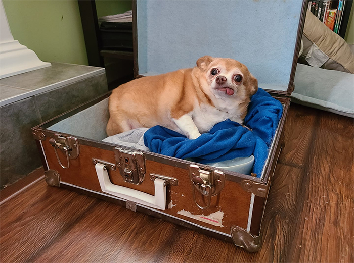 chubby dogs sleeps in a suitcase