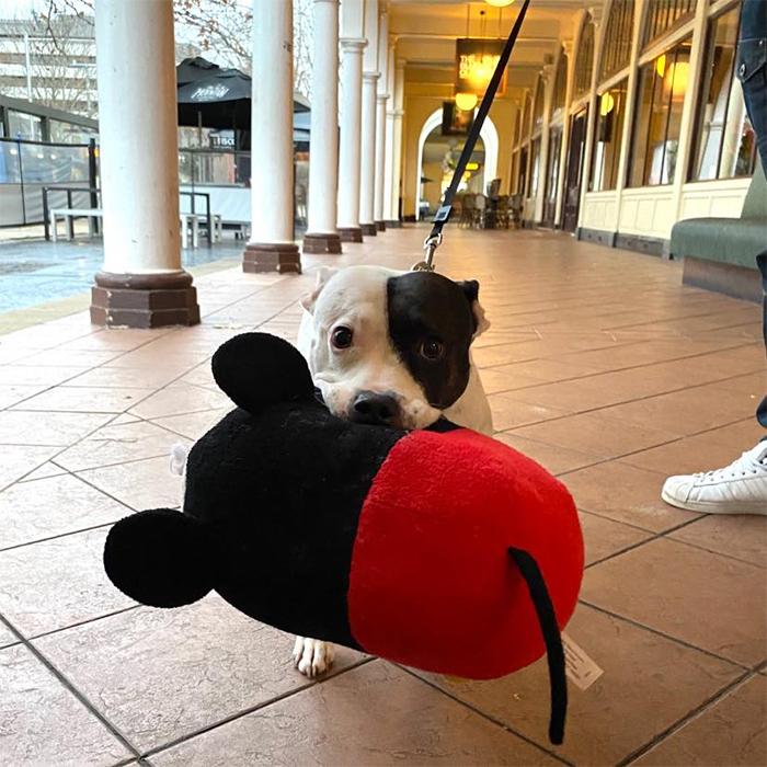 dog holding a plush toy