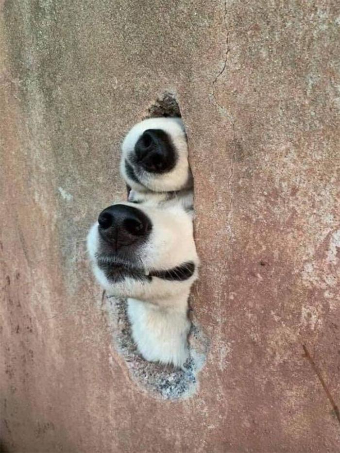 dogs peeking through a wall crack