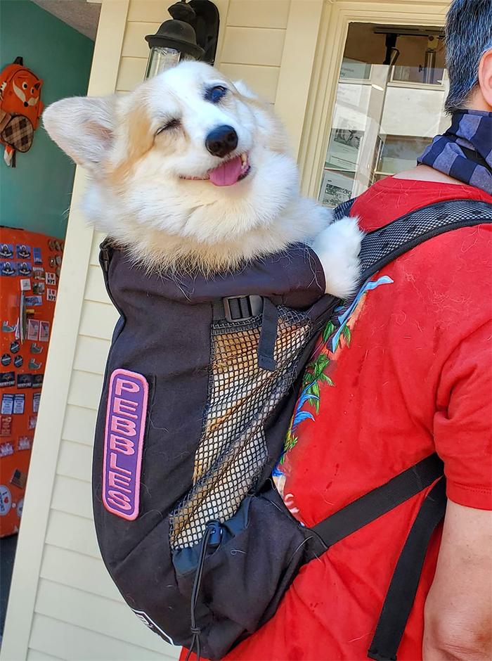 dogspotting corgi in a backpack
