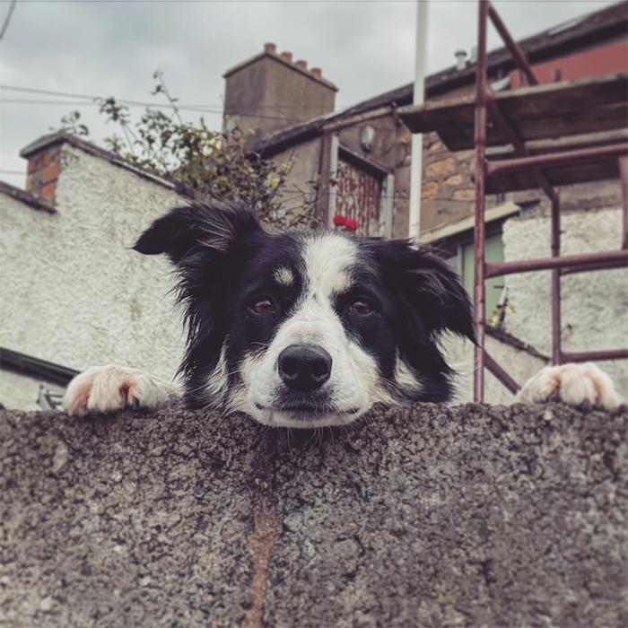 dogspotting dog peeking over the wall