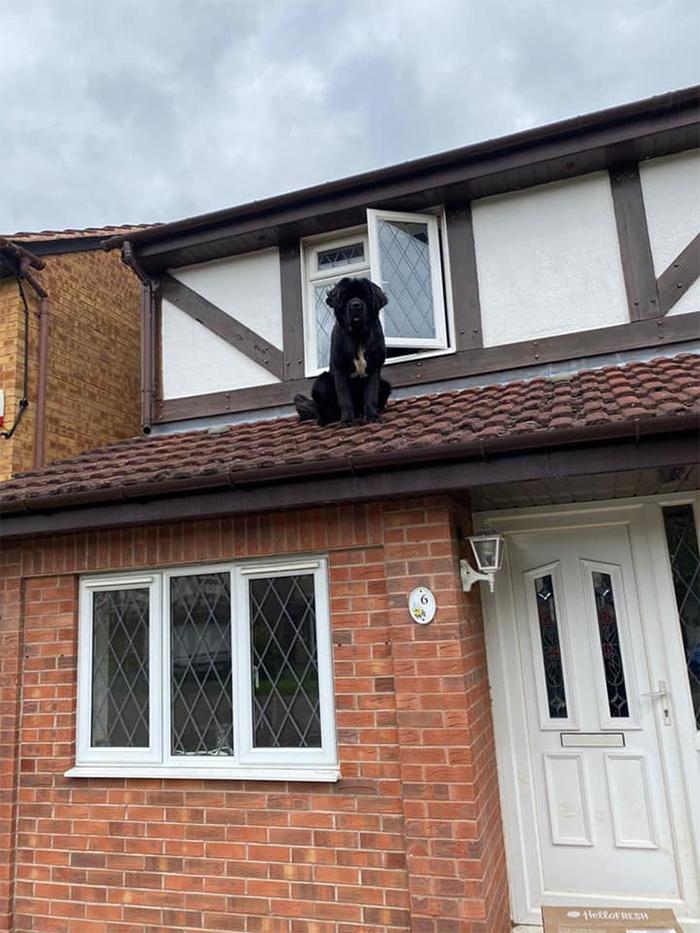 dogspotting newfoundland on the roof