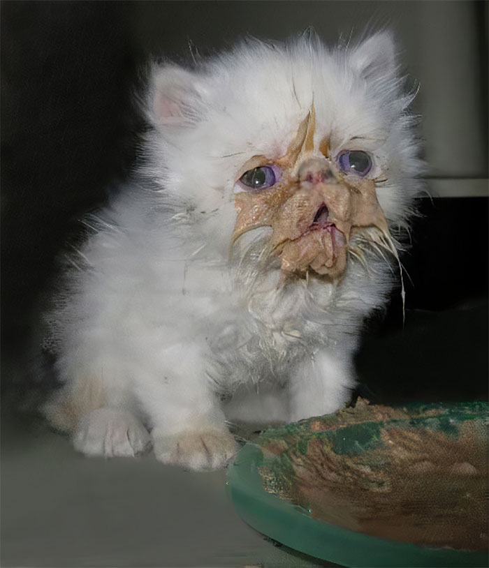fluffy white kitten gets dirty while eating its food