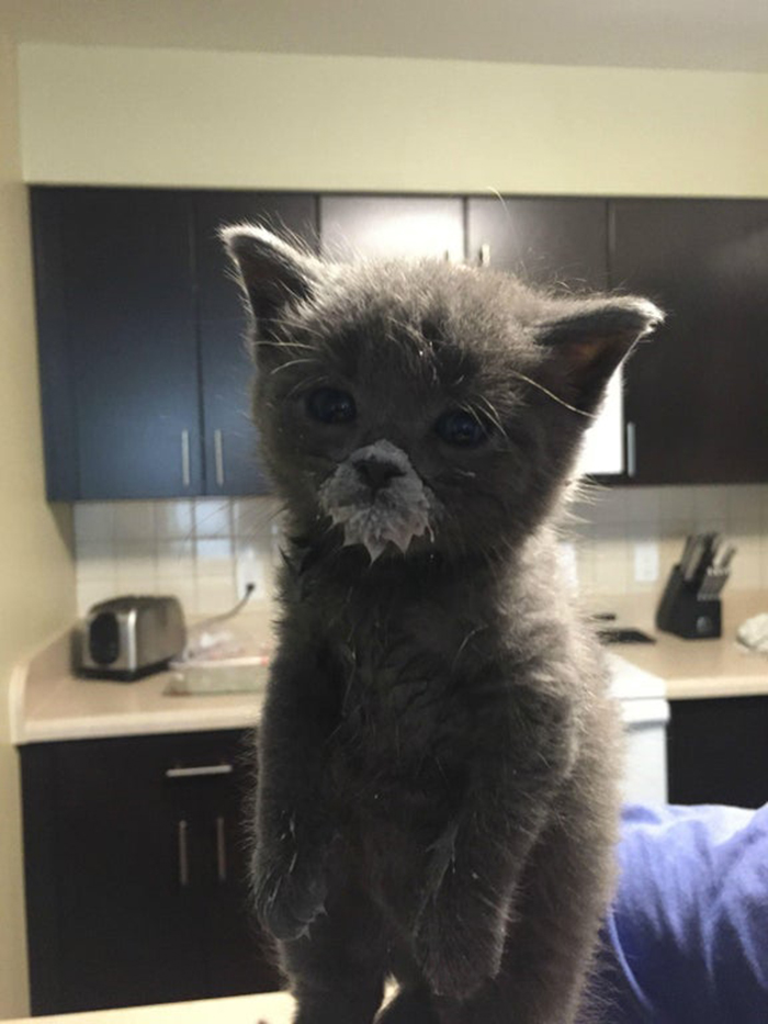 gray british shorthair with milk mustache-messy cats