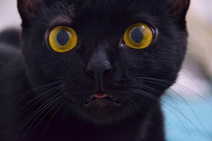 grigoriy-konovalov- black-cat-stares-at-lens-unsplash