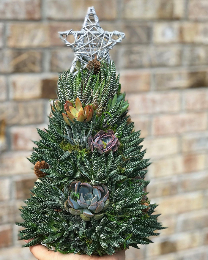 holiday ornamental succulents haworthias