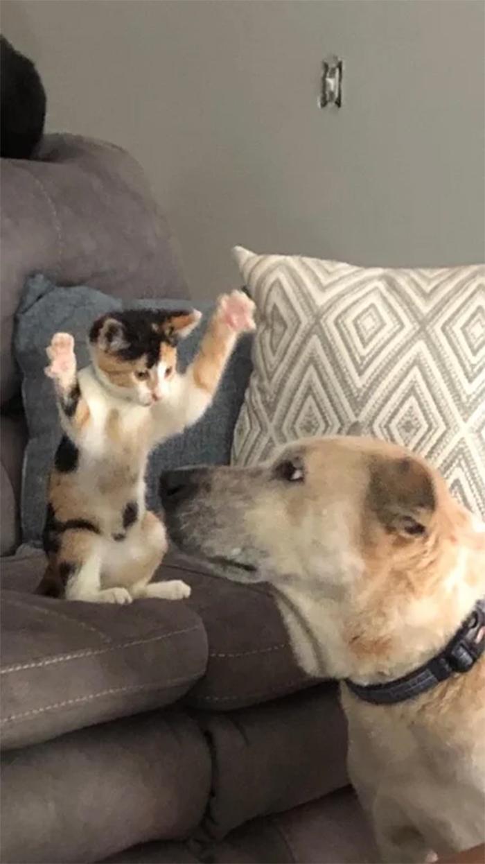 kitten showing whos the boss