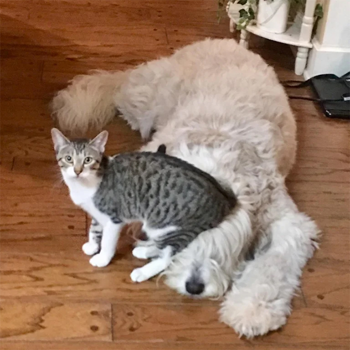 kitty as a dog sitter