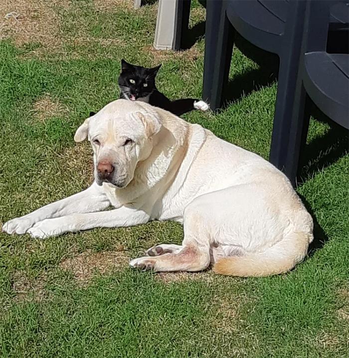 kitty sneak attack on senior dog
