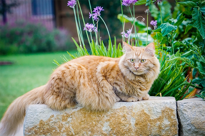 majestic maine coon cats