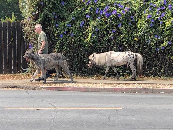 man walks big doggo and small pony
