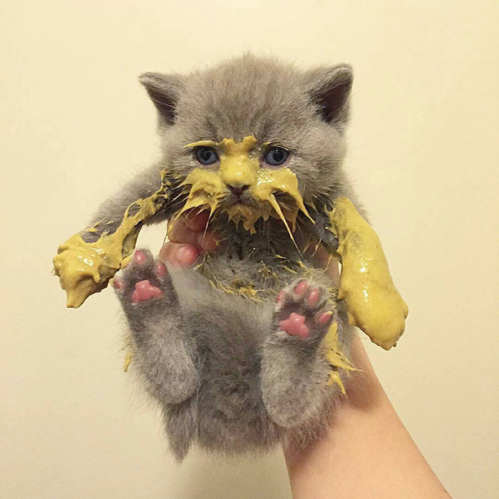 messy cats- kitten gets covered with dijon mustard