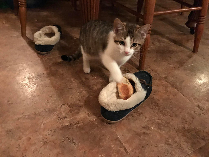 pet cat caught stealing food then sticking it inside owner's shoe