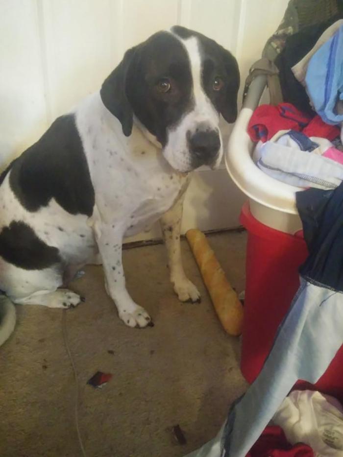 pet dog caught stealing a baguette