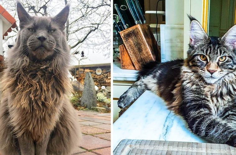 photos of Maine coon cats